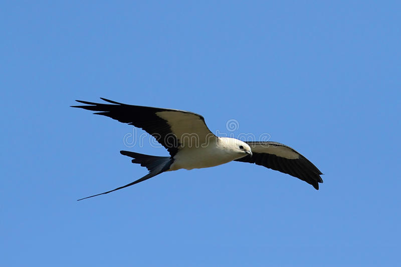 Swallow-tailed Kite royalty free stock images