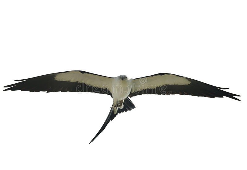 Swallow-tailed Kite in flight stock photography