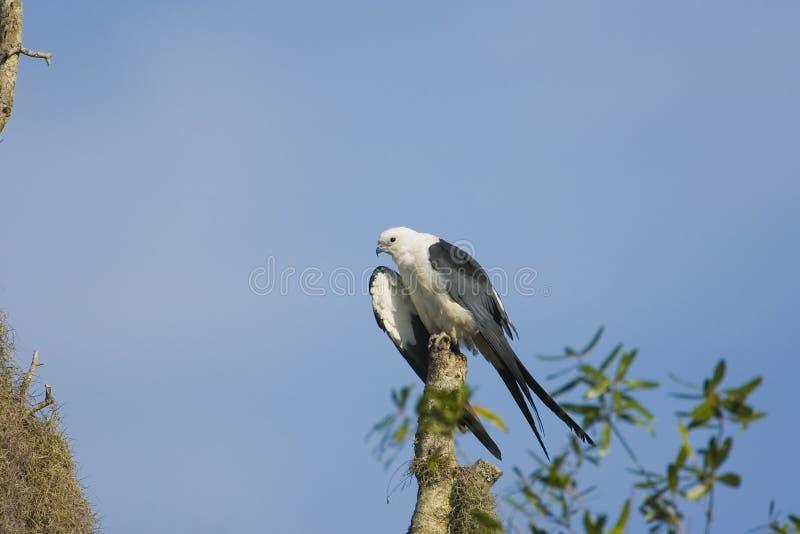 Swallow-tailed Kite preening stock photo