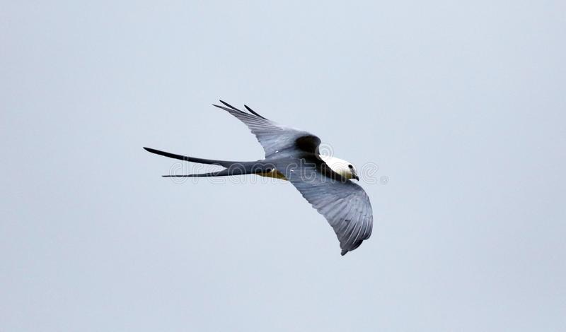 Swallow-tailed kite prey bird hunting in the skies of Costa Rica royalty free stock image