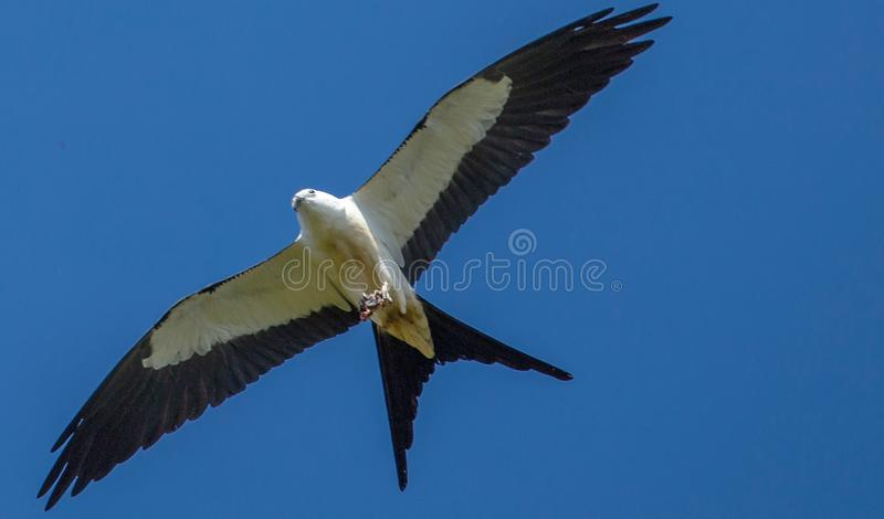 Swallow-Tailed Kite Soaring royalty free stock photography