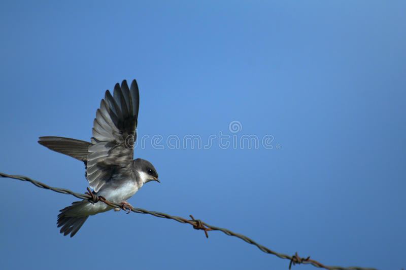 Download Swallow On A Wire Royalty Free Stock Images - Image: 16284869