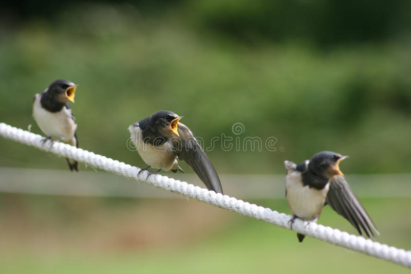 Swallows. Three baby swallows expecting a feed royalty free stock images