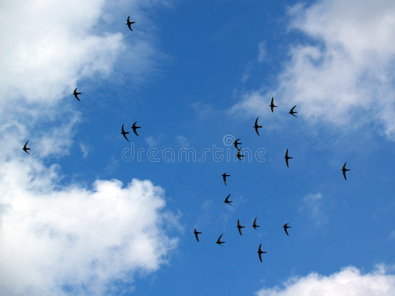 Download Swallows stock photo. Image of clouds, blue, birds, wings - 193204