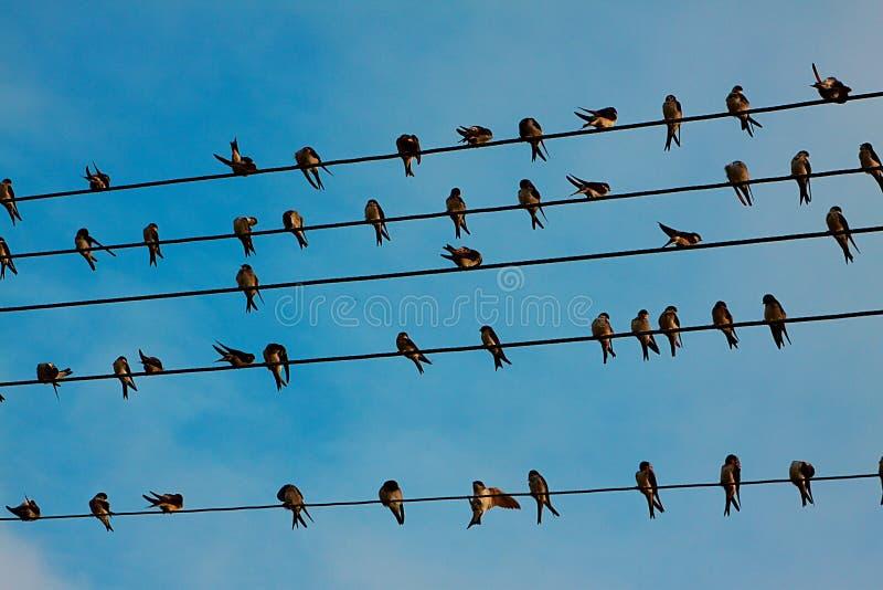 Swallows immagini stock