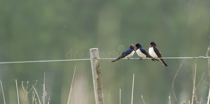 swallows fotografie stock libere da diritti