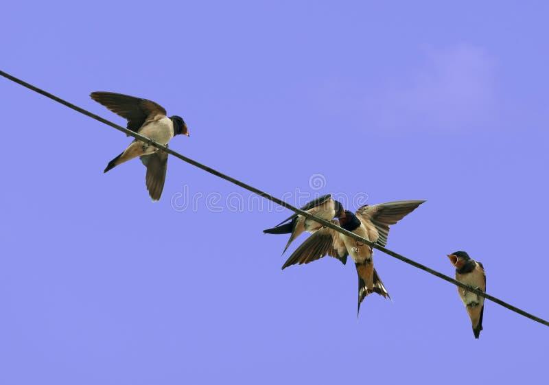 Swallows dei giovani che sono alimentati - rustica del hirundo fotografie stock libere da diritti