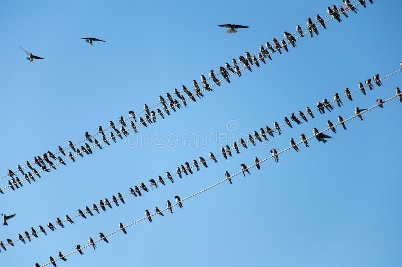 Swallows dei giovani sui collegare immagini stock