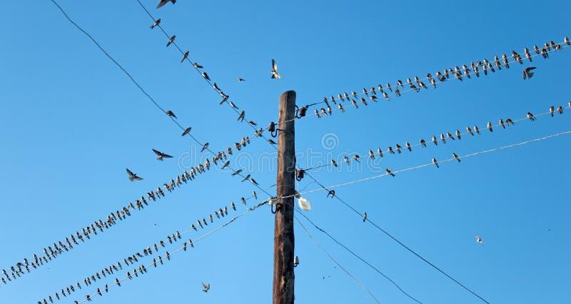 Swallows dei giovani sui collegare immagine stock