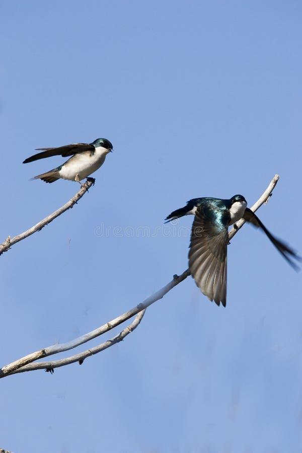 Swallows di albero fotografia stock