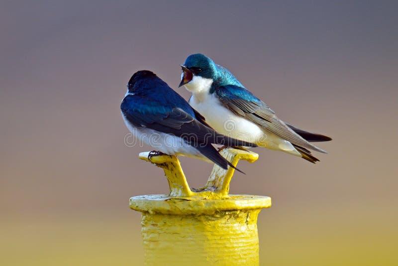 Swallows di albero fotografia stock libera da diritti