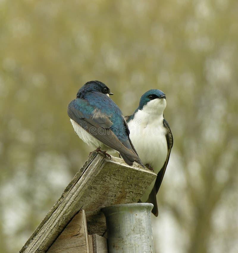 Swallows di albero di incastramento fotografia stock libera da diritti