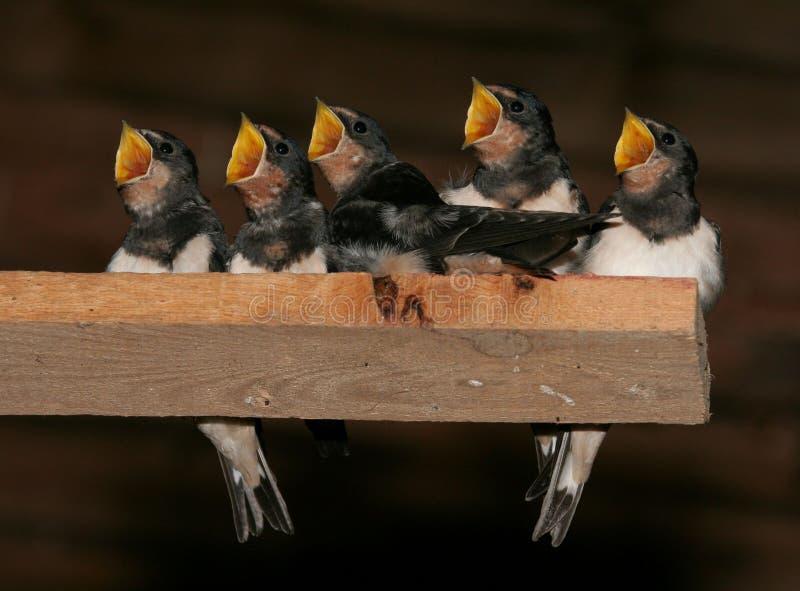 Swallows di granaio fotografie stock