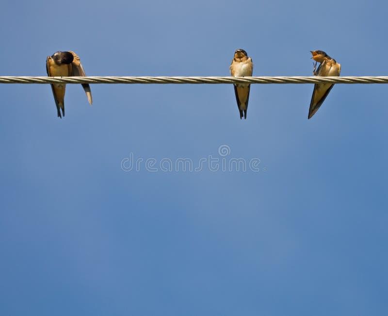 Swallows di granaio fotografia stock libera da diritti