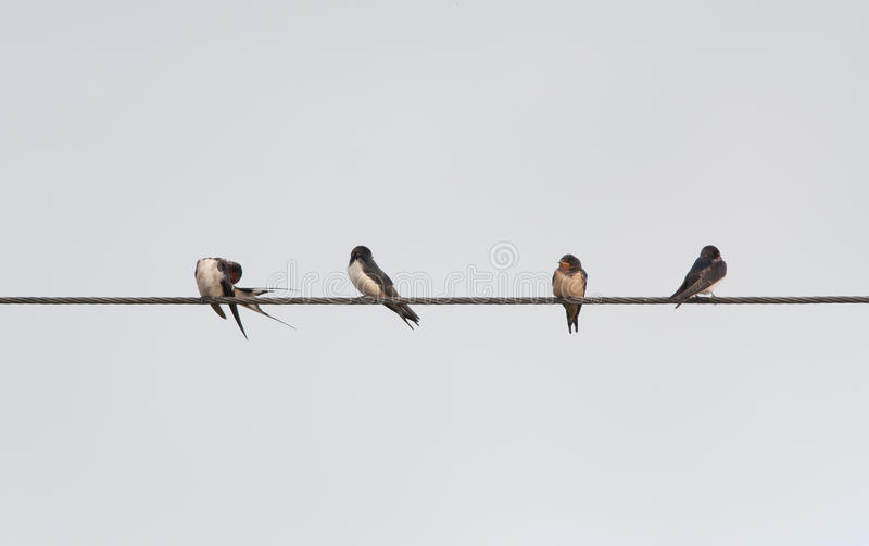 Swallows di granaio immagini stock