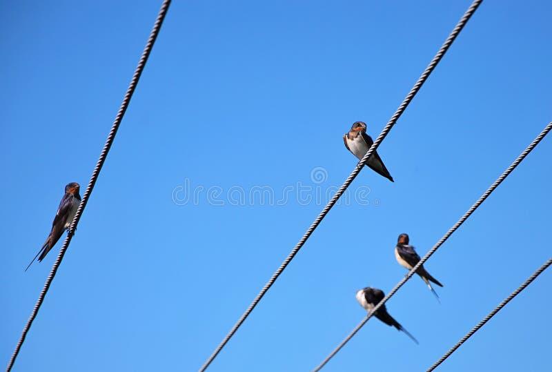 Swallows di scogliera fotografie stock