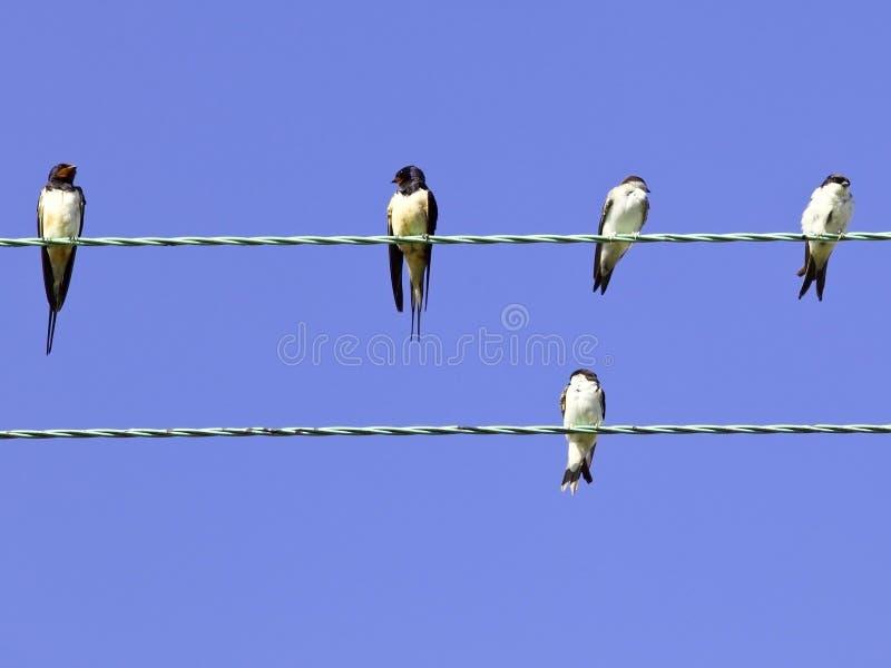 Swallows e martins della casa fotografie stock libere da diritti