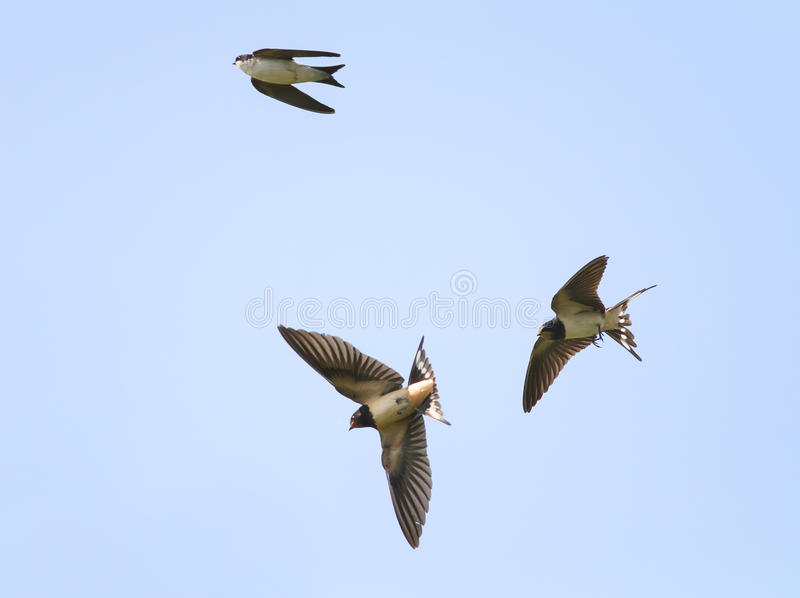 Swallows fly high in the sky widely spread its wings. Swallows fly high in the blue sky widely spread its wings royalty free stock photo