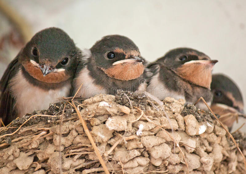 Swallows in a nest royalty free stock photography