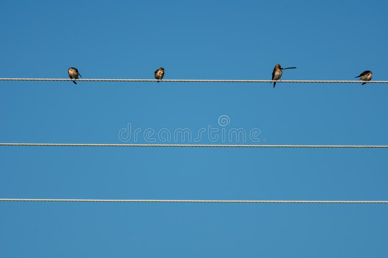 Swallows over parallel high tension cables, long shot. Swallows over high tension cables in different positions stock images