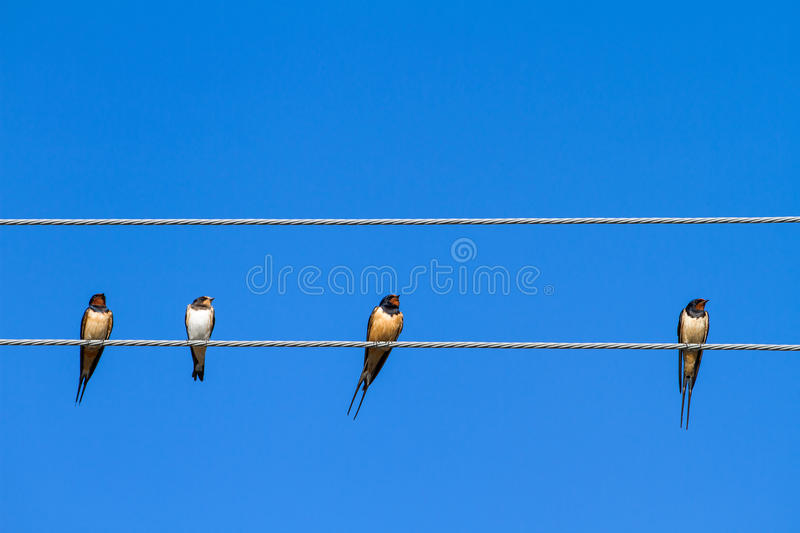 Download Swallows sitting on a wire stock image. Image of nature - 33266279