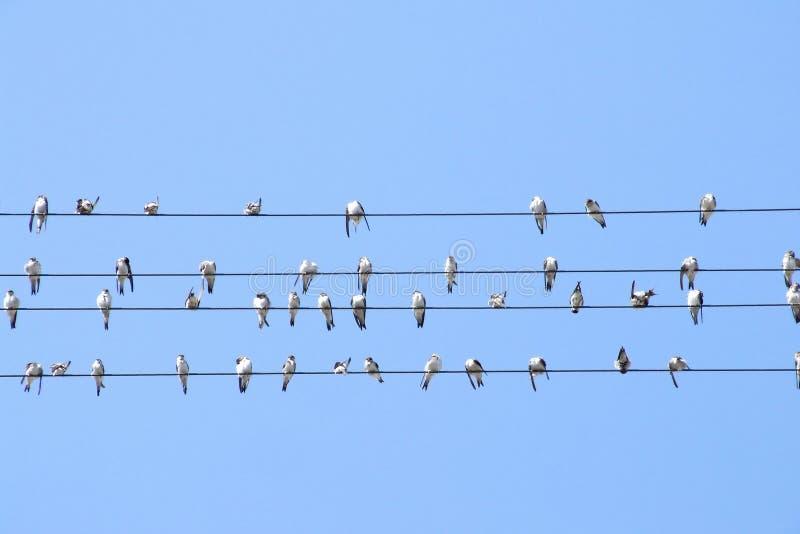 Swallows su collegare immagini stock libere da diritti