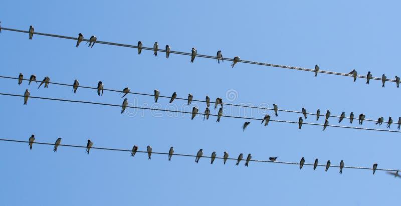 Swallows su collegare fotografia stock