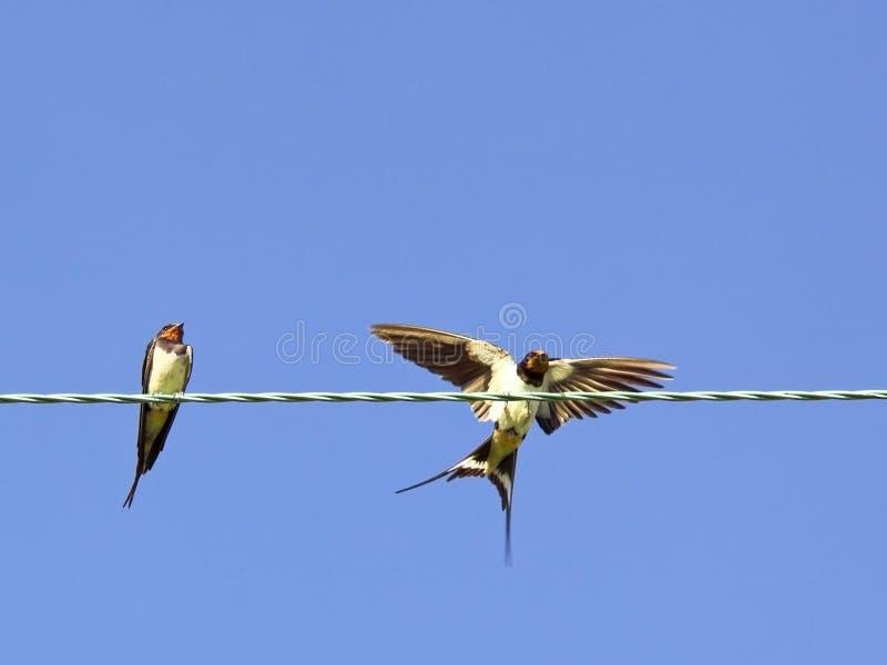Swallows su un collegare fotografie stock