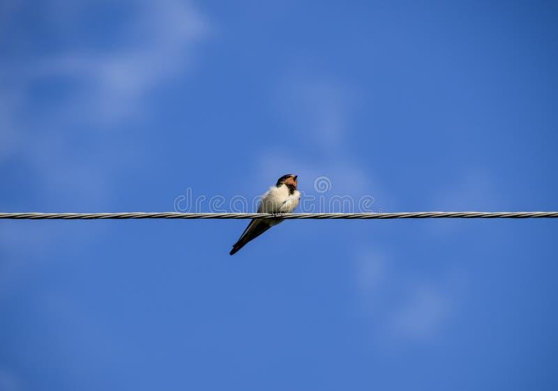 Swallows sui collegare Sorsi contro il cielo blu Lo swallo fotografie stock libere da diritti