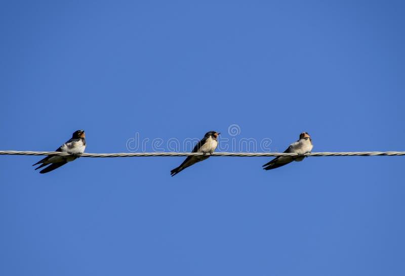 Swallows sui collegare Sorsi contro il cielo blu Lo swallo fotografie stock