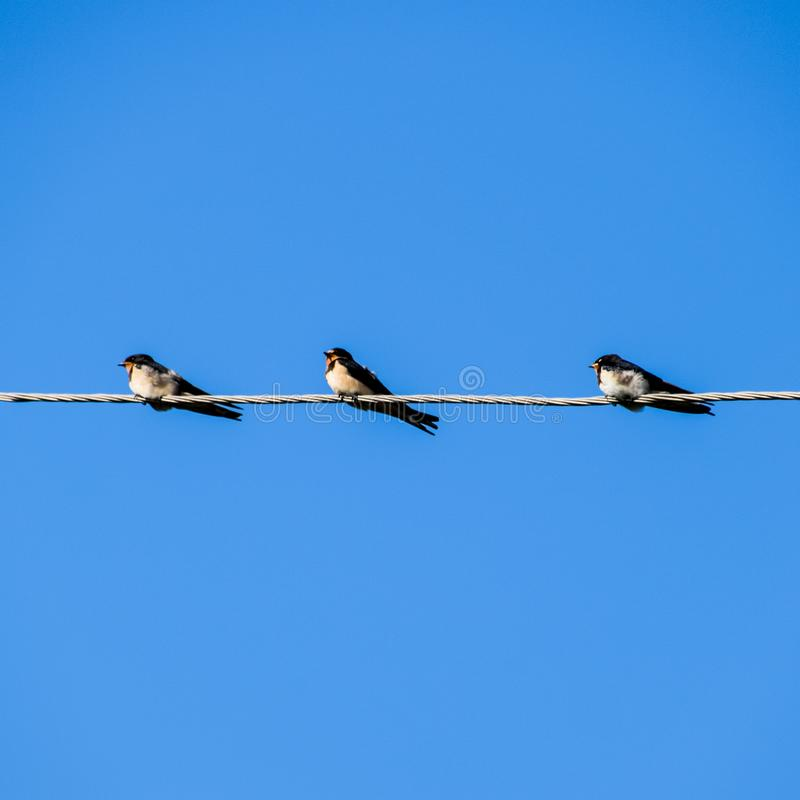 Swallows sui collegare Sorsi contro il cielo blu Lo swallo immagini stock libere da diritti