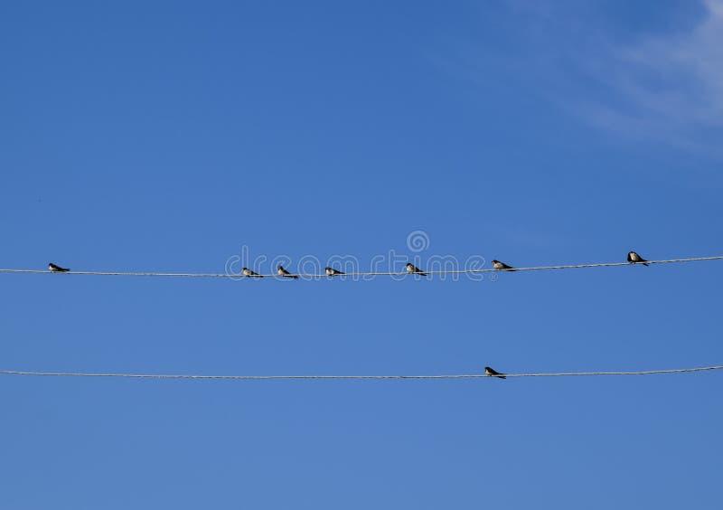 Swallows sui collegare Sorsi contro il cielo blu Lo swallo fotografia stock