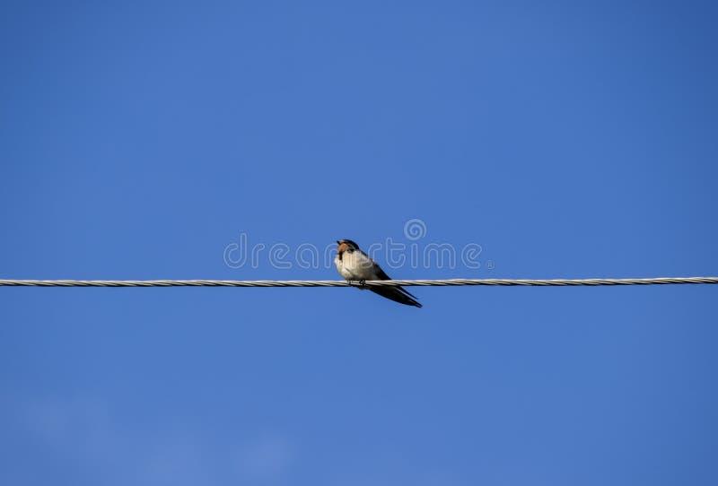 Swallows sui collegare Sorsi contro il cielo blu Lo swallo immagine stock