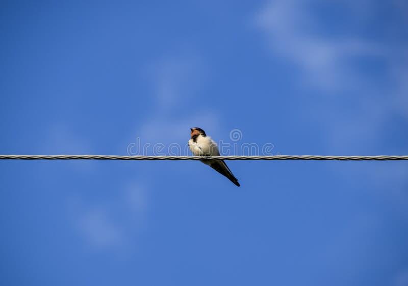 Swallows sui collegare Sorsi contro il cielo blu Lo swallo immagini stock