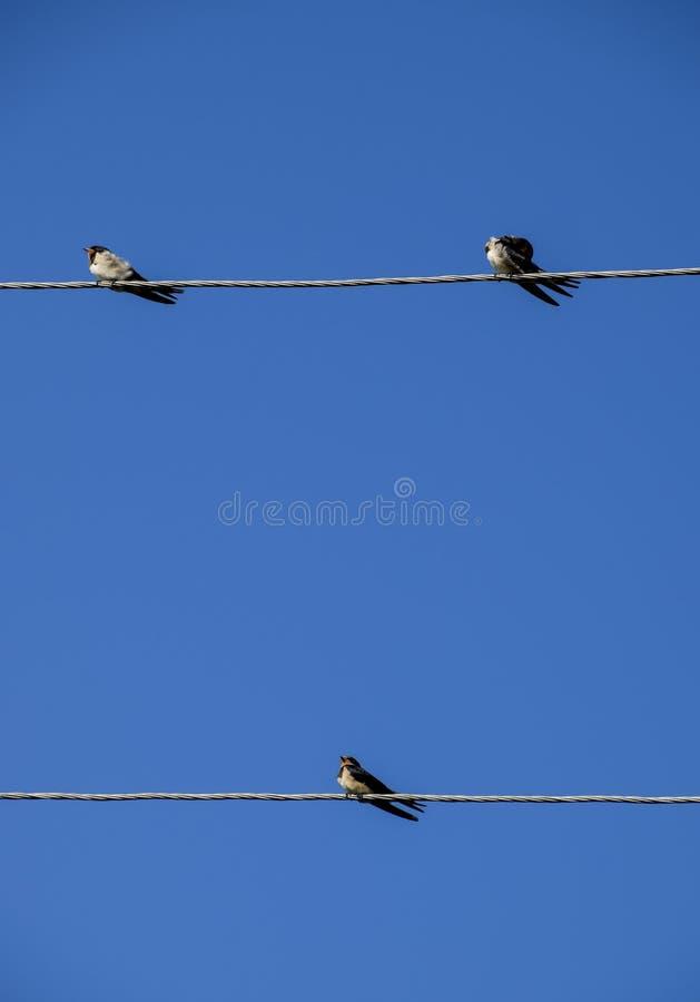 Swallows sui collegare Sorsi contro il cielo blu Lo swallo immagine stock libera da diritti