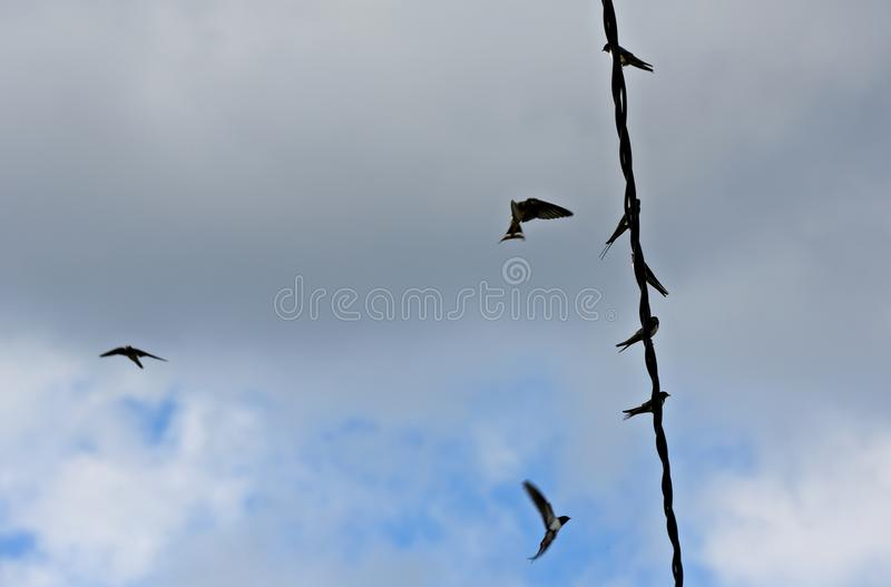 Barn swallows and house martins in the air. Swallows taking off and landing on a wire under blue sky and white clouds stock images