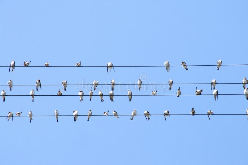 Swallows on wire royalty free stock images