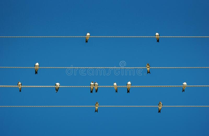 Swallows on wires stock image