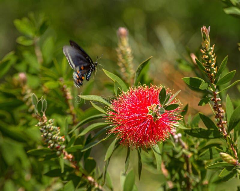 Swallowtail从洗瓶刷花,亚利桑那的蝴蝶离地升空 免版税库存图片