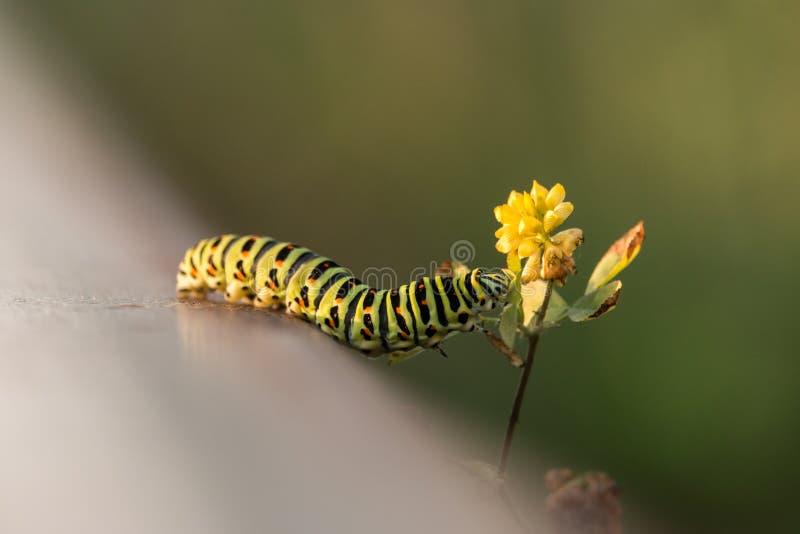 Swallowtail毛虫爬行染黄在绿色被弄脏的背景的野花 免版税库存照片