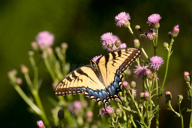 swallowtail老虎 图库摄影
