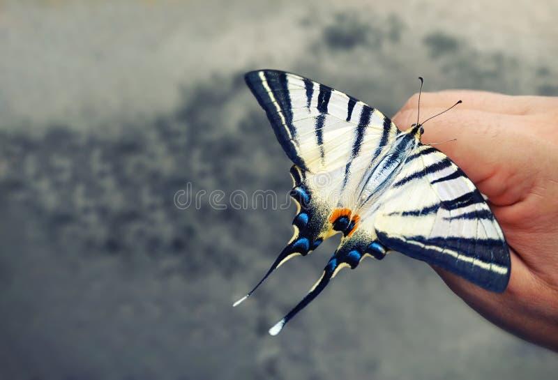 Swallowtail蝴蝶坐他的手 美丽的昆虫 灰色被弄脏的背景 自然保护概念 Papilio machaon 免版税图库摄影