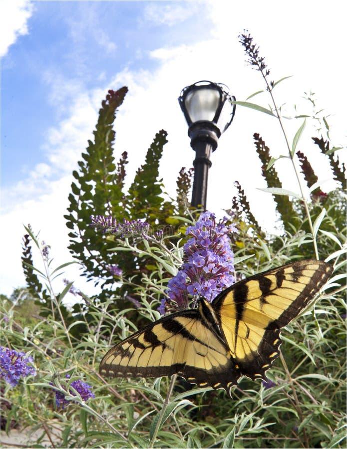 swallowtail被盯梢的老虎二 免版税库存图片