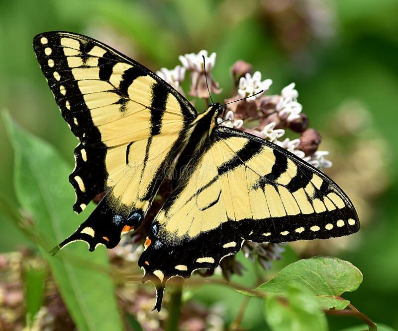 Swallowtail του απογεύματος στοκ εικόνα