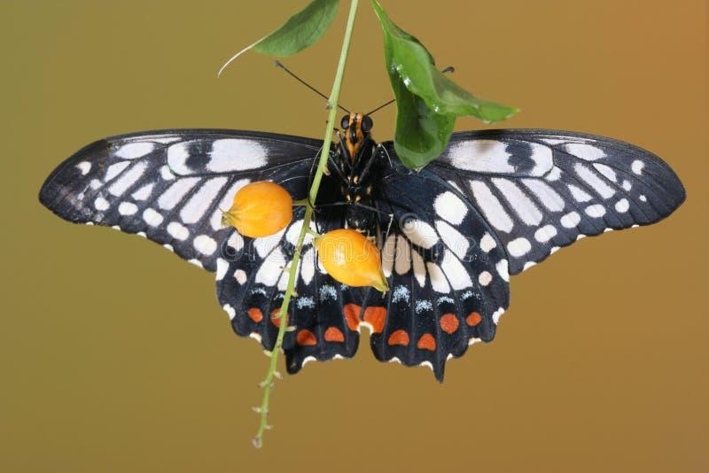 swallowtail бабочки тусклое стоковое изображение rf