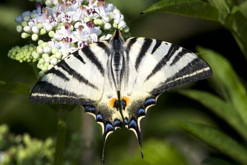swallowtail взрослого podalirius iphiclides вряд стоковые изображения rf