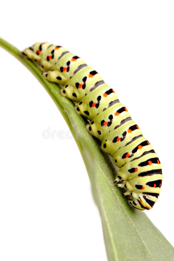 swallowtail гусеницы зеленое стоковые фото