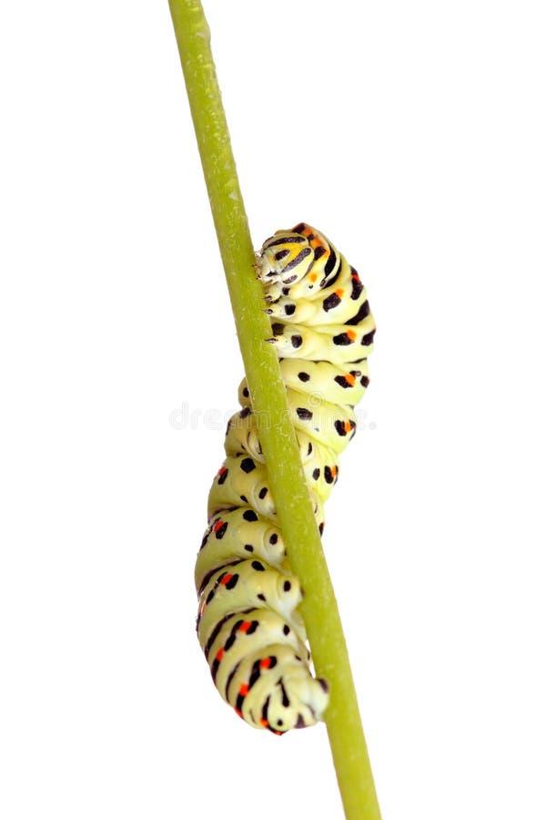 swallowtail гусеницы зеленое стоковые изображения