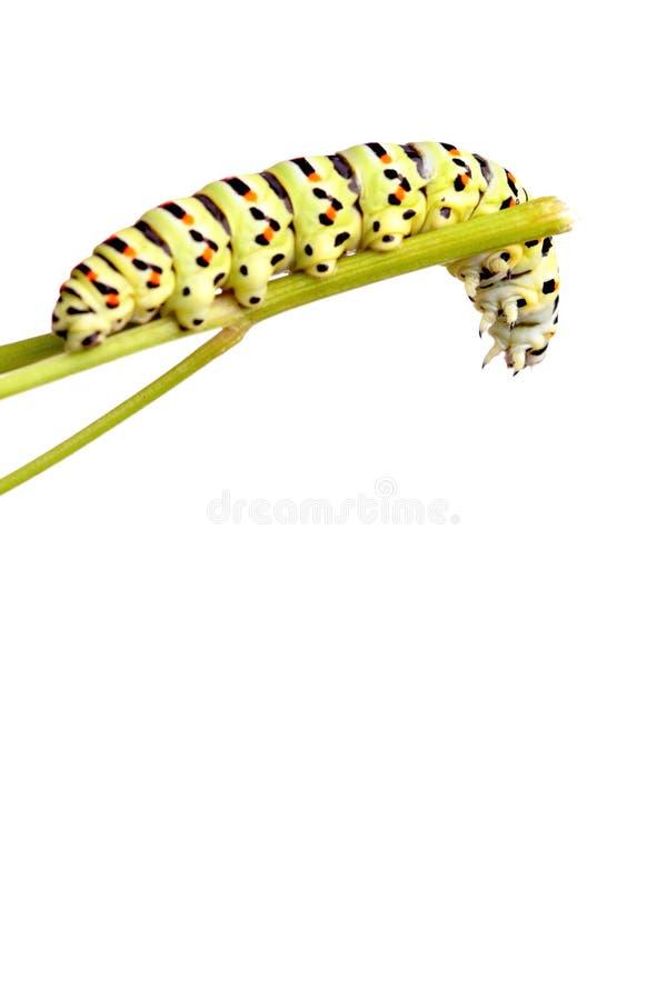swallowtail гусеницы зеленое стоковое изображение