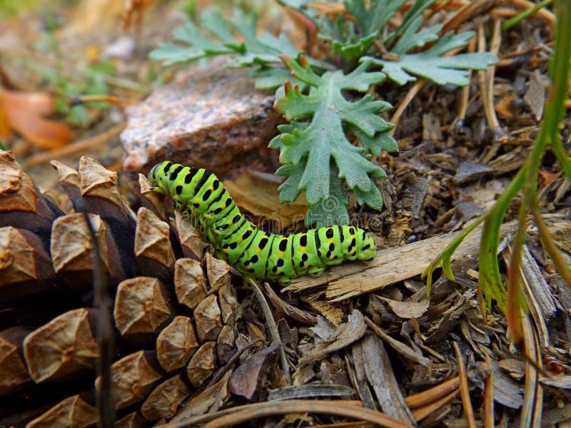 swallowtail гусеницы зеленое стоковые изображения rf